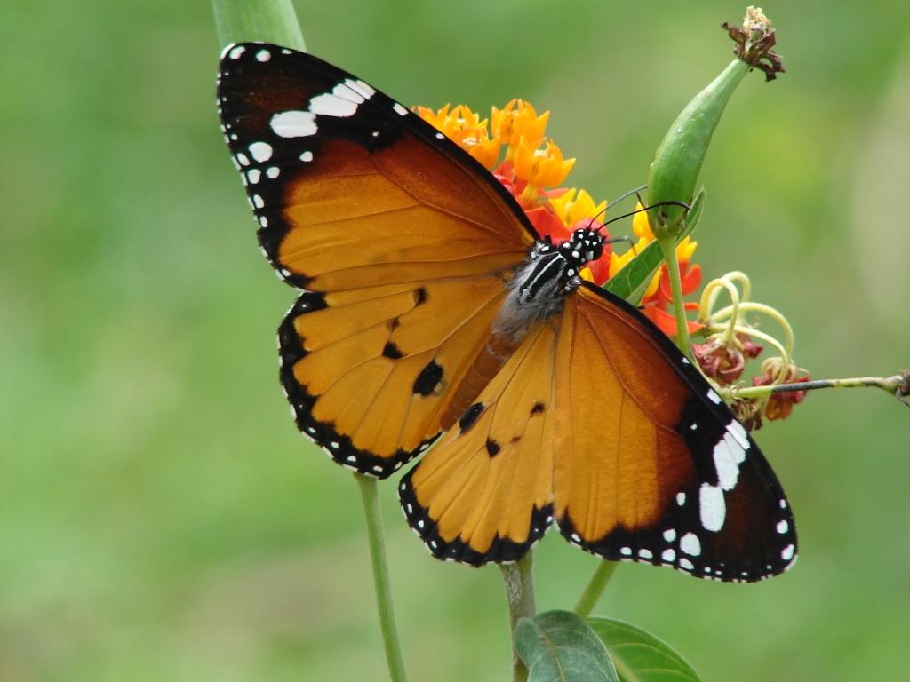 Butterfly at karanji kere